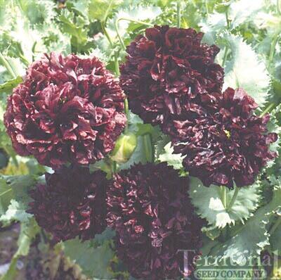Poppy-Black Peony