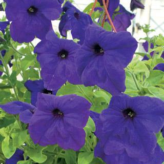 Petunia Park's Whopper Hybrid Blue