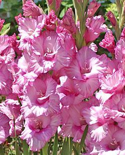 Romance Super Jumbo Gladiolus - 5 bulbs
