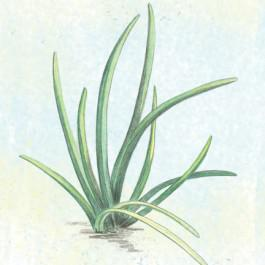 Chinese Chives Mixed