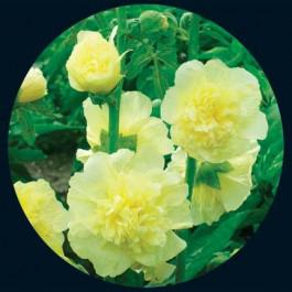 Majorette Double Yellow -hollyhock