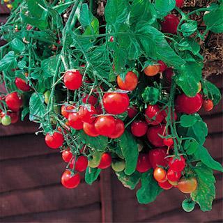 Tumbling Tom Tomato Plant