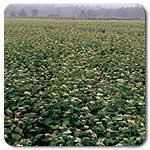 Organic Buckwheat, Common