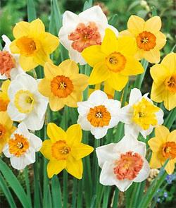 SOLD OUT Mixed Large Cup Daffodils - 10 bulbs