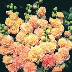 Hollyhock r. 'Peaches 'n' Dreams'™