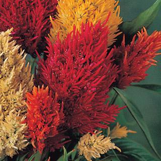 Celosia Sparkler Red