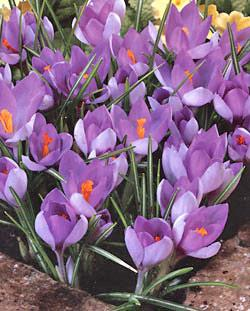 SOLD OUT Whitewell Purple Species Crocus - 10 bulbs