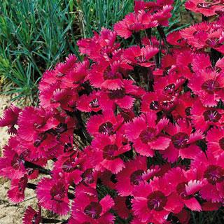 Ruby Sparkles Dianthus Garden Pink Plant