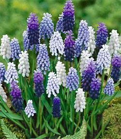 SOLD OUT Mixed Muscari - 10 bulbs