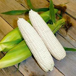 Sweet Corn Mirai White M421 F1 Hybrid