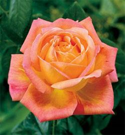 Arizona Grandiflora Rose - 1 bare root plant