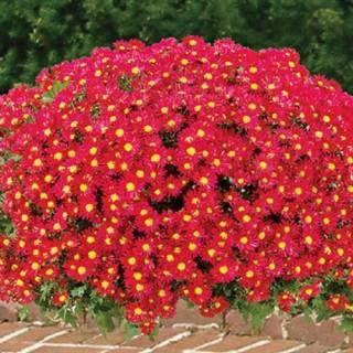 Red Daisy Hardy Mammoth Mums
