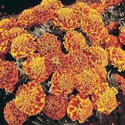 Marigold p.'Honeycomb'
