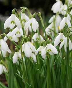 SOLD OUT Early Snowdrops Galanthus - 10 bulbs