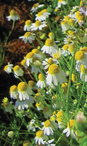Chamomile-German