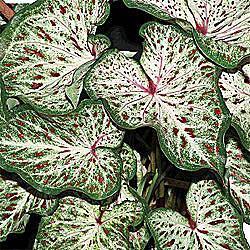 Strap Leaf Caladium Gingerland