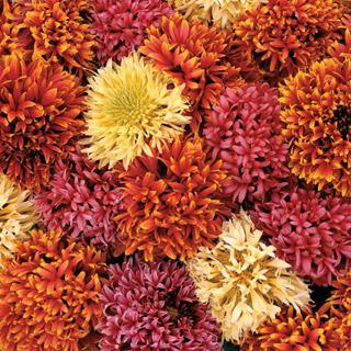 Blanket Flower Dazzler Mix