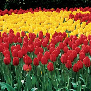 Wayside's Red and Yellow Landscape Tulip Mix Bulb - Pack of 20
