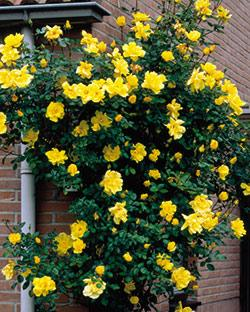 Golden Showers Climbing Rose - 1 bare root plant