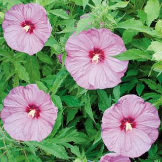 Berrylicious Hibiscus Rose Mallow Plant