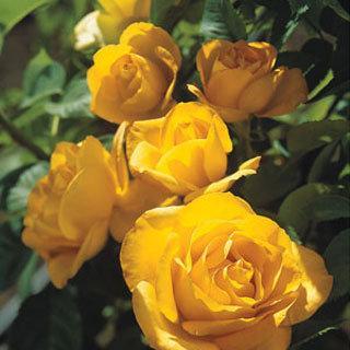 Midas Touch™ Yellow Hybrid Tea Rose