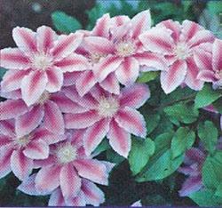 Dr. Ruppel Clematis  - 3 pre-started plants