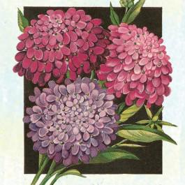 Fairyland Dwarf Mix - Candytuft