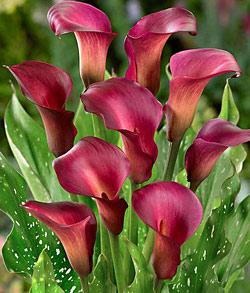 Ruby Sensation Callafornia Calla® Calla Lily - 3 tubers