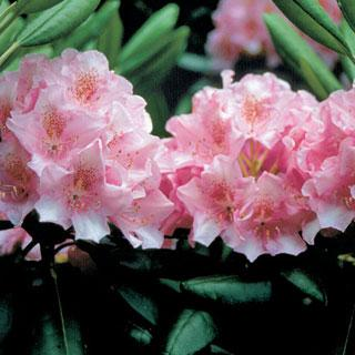 Helskinki University Rhododendron Shrub