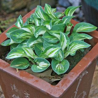 Pandora's Box Hosta Plant