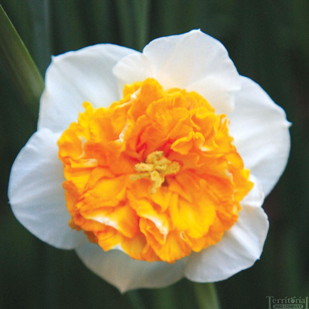 Daffodil-Amadeus Mozart