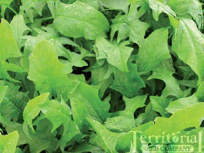 Galilee Spinach Organic