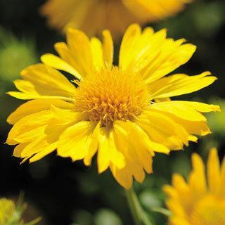 Gaillardia Mesa™ Yellow Blanket Flower Plant