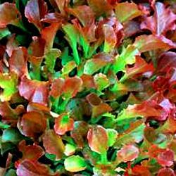 Lattuga – Lettuce Rossa a Foglia Riccia da Taglio