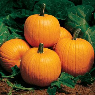 Pumpkin Autumn Gold Hybrid
