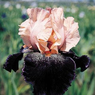 Wench Iris germanica Tall Bearded Iris Plant