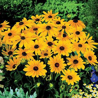 Indian Summer Rudbeckia Gloriosa Daisy Plant