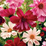 Mixed Seashell Cosmos