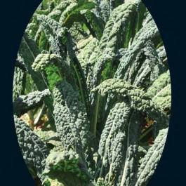 Nero Di Toscana Cabbage