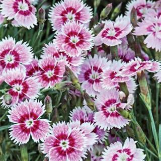 Bedazzled Dianthus