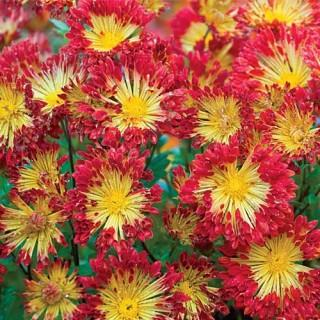 Matchsticks Chrysanthemum