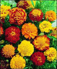 Marigold, French-Sparky