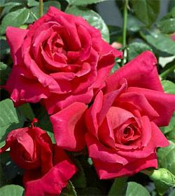 Miss All America Beauty Hybrid Tea Rose - 1 bare root plant