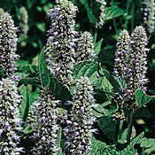 Mint Licorice (Anise Hyssop)