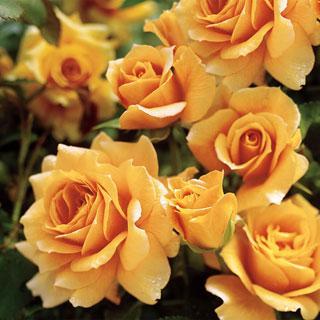 Roses Amp Roses Reviews Seedratings Com