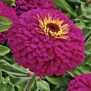 Zinnia Uproar Rose Hybrid