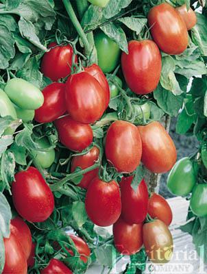 Plum Dandy Tomato