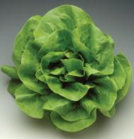 Rex (Pelleted) Butterhead Lettuce
