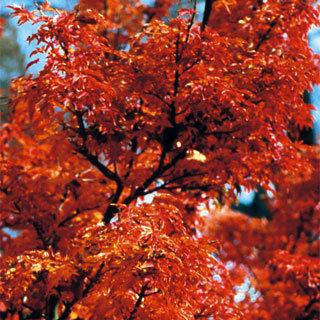 Shishigashira Acer palmatum Japanese Maple Tree