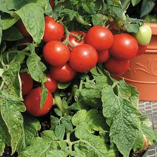 Totem Hybrid Tomato Plant